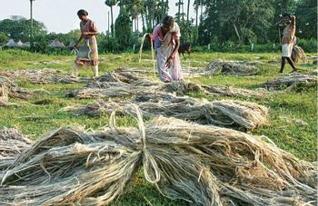 Raw Jute demand falls, Farmers sell crop below MSP