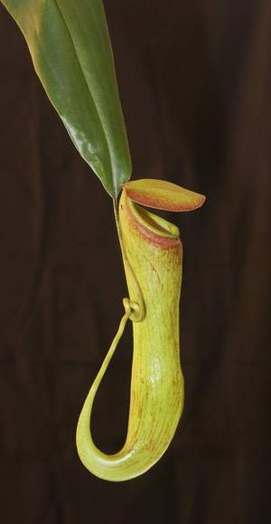 Carnivorous plants use CO2 to lure prey